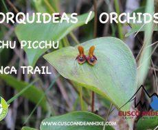 ORCHIDS OF MACHU PICCHU – INCA TRAIL